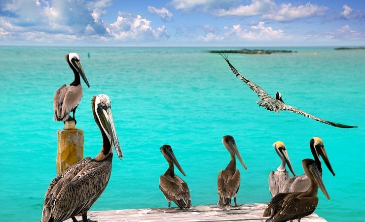 """Pelicans And Turquoise Waters"""