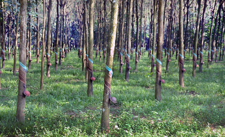 """Cu Chi Rubber Forest"""
