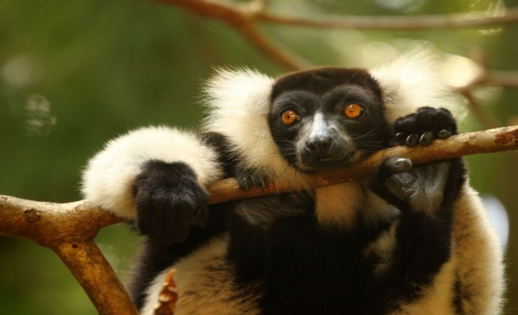 """Black And White Ruffed Lemur"""