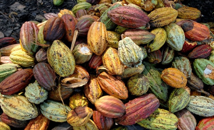 """Cocoa Harvest On The Millot Plantation"""