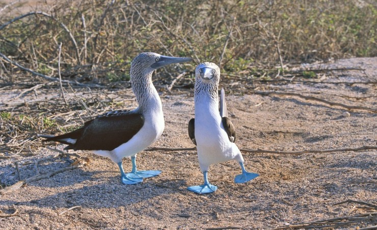 """Blue Footed Boobies"""