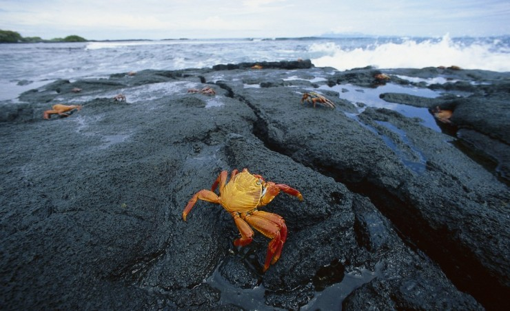 """Red Rock Crab"""