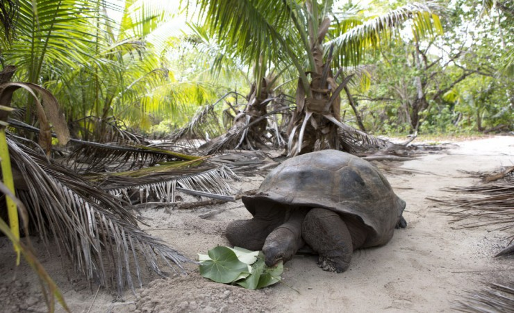 """Giant Tortoise On Curieuse Island"""