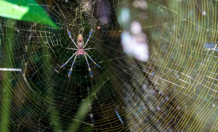 """Golden Orb Spider   Cahuita National Park"""