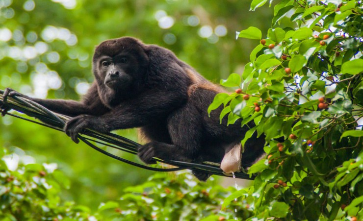 """Howler Monkey   Cahuita National Park"""