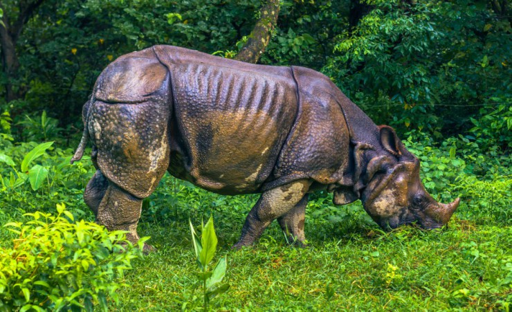 """Indian Rhinoceros   Chitwan National Park"""