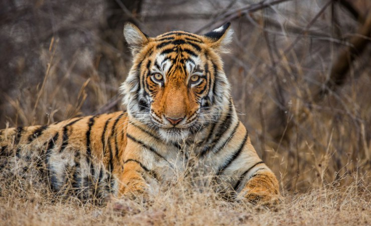 """Bengal Tiger, Ranthambore National Park   68217064"""