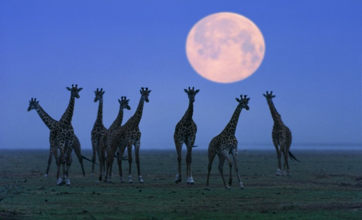"""Massai Giraffes At Full Moon"""