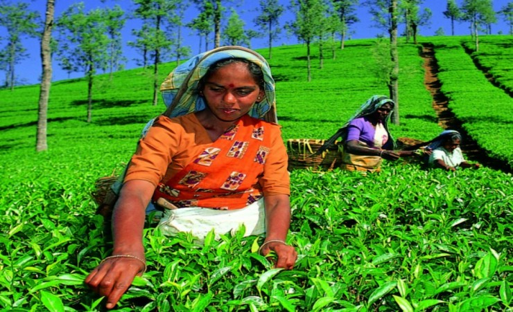 """Tea Picker Nuwara Eliya"""