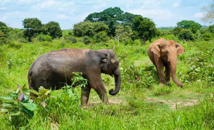 """Udawalawe Elephants"""