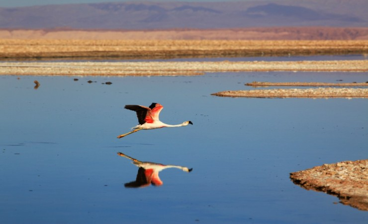 """Pink Flamingo Over Salar De Atacama"""