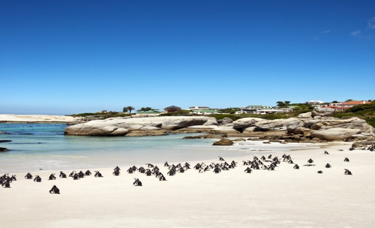 """Colony Of African Penguins On Boulders Beach"""