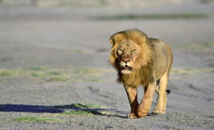 """Male Lion Walking Serengeti National Park"""